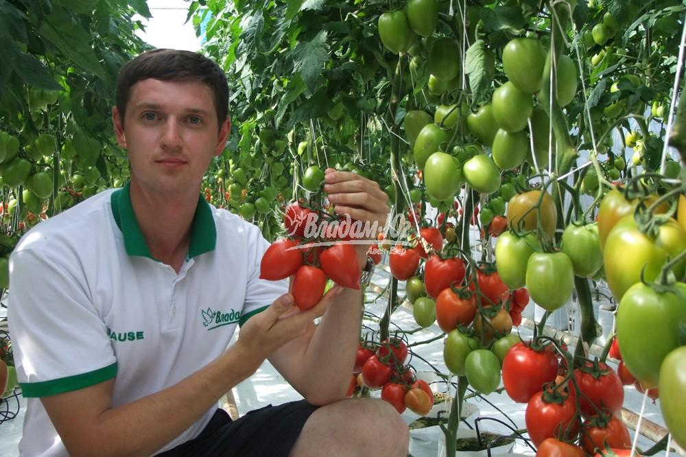 Технология по выращивание укроп 82