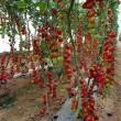 Семена Тути-Фрути F1 оптом
