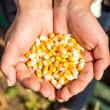 Семена кукурузы Леженд F1