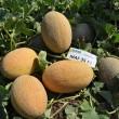 Купить семена Маф 35 F1