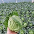Семена Легат F1 оптом