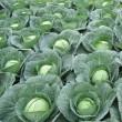 Купить семена СКИФ F1