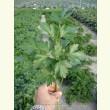 Купити насіння НОВАС