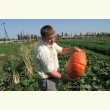Купити насіння РУЖ ВІФ Де`ТАМП