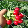 Купити насіння ДЖОЛЛІ