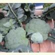 Купити насіння РУМБА F1