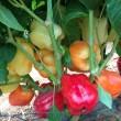 Купити насіння ОИДА F1