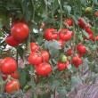 Купити насіння К 20.48 F1