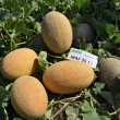 Купити насіння Маф 35 F1