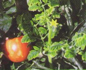 Желтая курчавость листьев томата - вирус