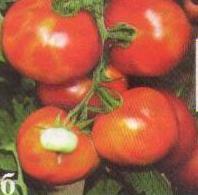 Бронзовость (пятнистое увядание) томата