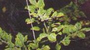 Желтая курчавость листьев томата