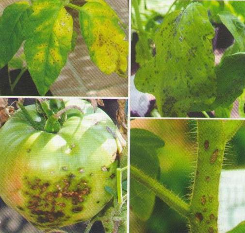 поражение томата черной бактериальной пятнистостью