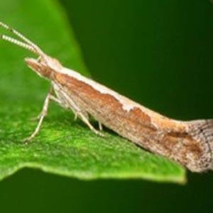 Бабочка капустной моли
