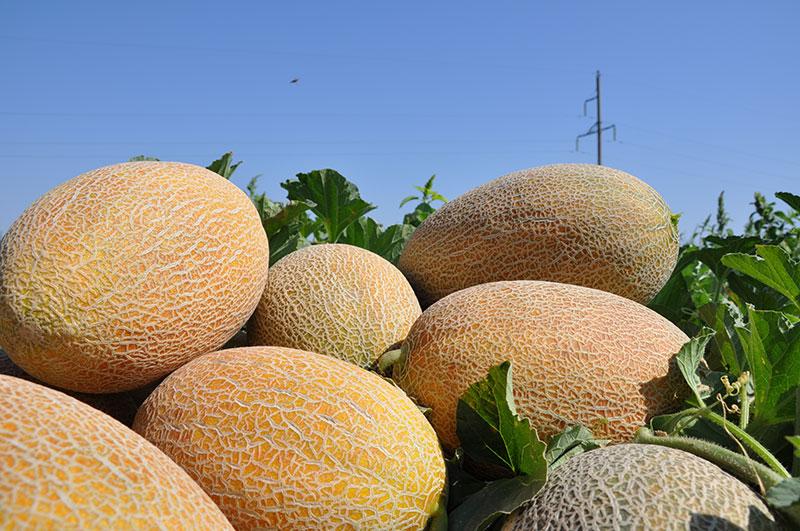 Технология выращивания дыни при капельном орошении
