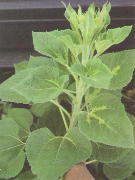 Пошкодження дорослої рослини