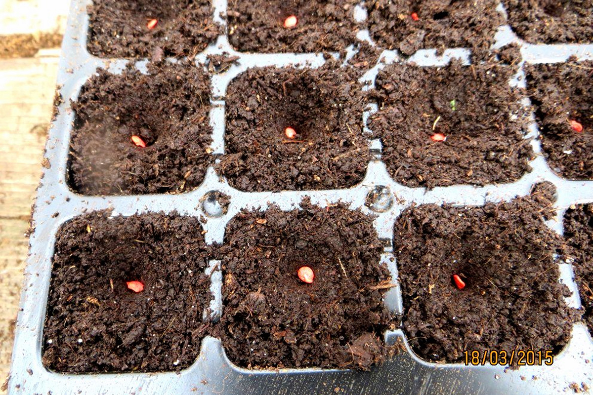 Посеять на рассаду перец